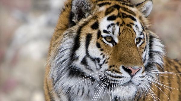 atoz_tiger